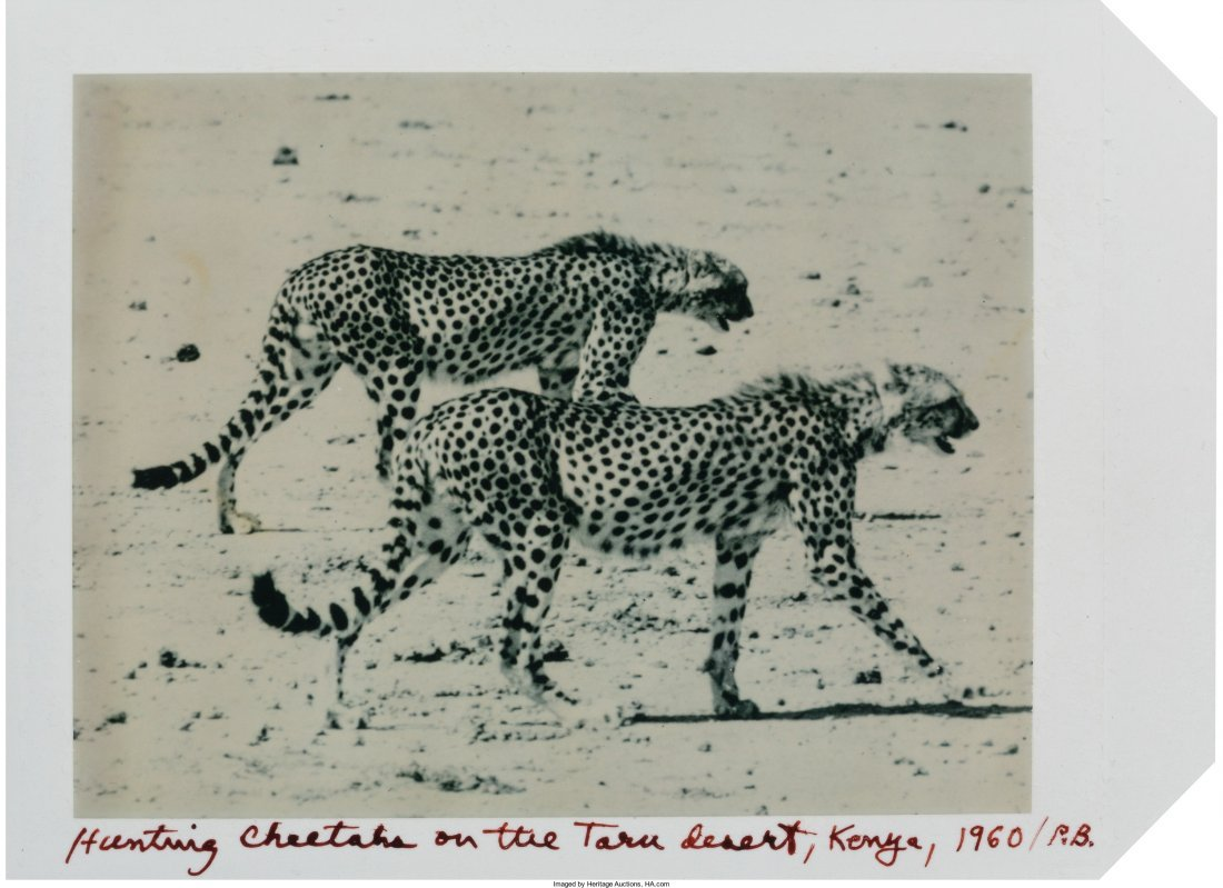 73330: Peter Beard (American, b. 1938) Hunting Cheetahs