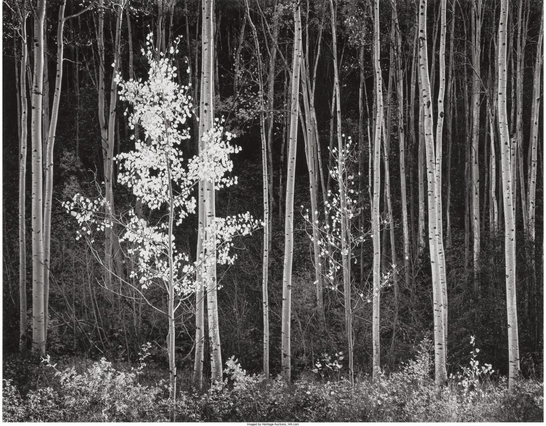 11005: Ansel Adams (American, 1902-1984) Aspens, Northe