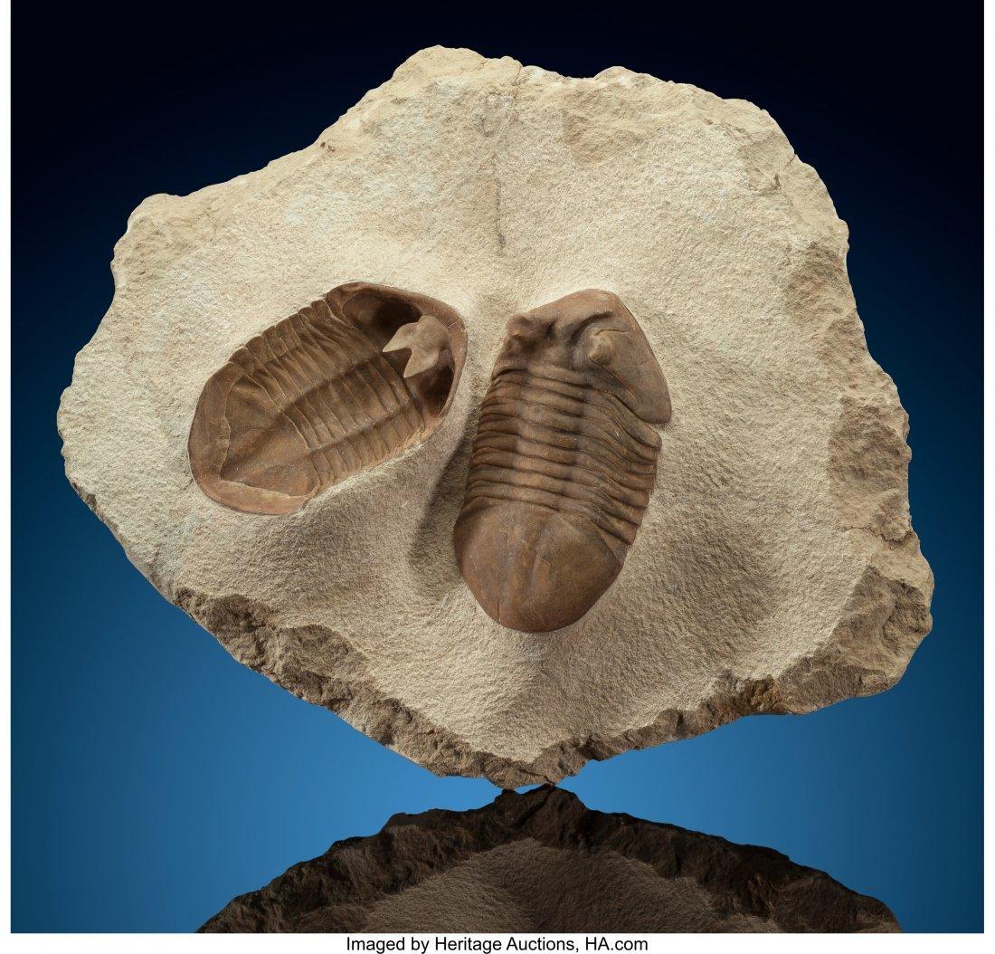 """72115: Asaphus Trilobite (""""Positive/Negative"""") Asaphus"""