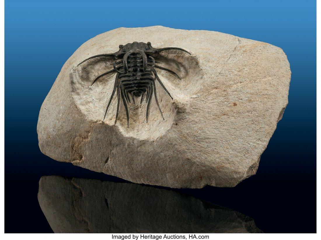 72127: Trilobite Fossil Dicranurus monstrosus Devonian