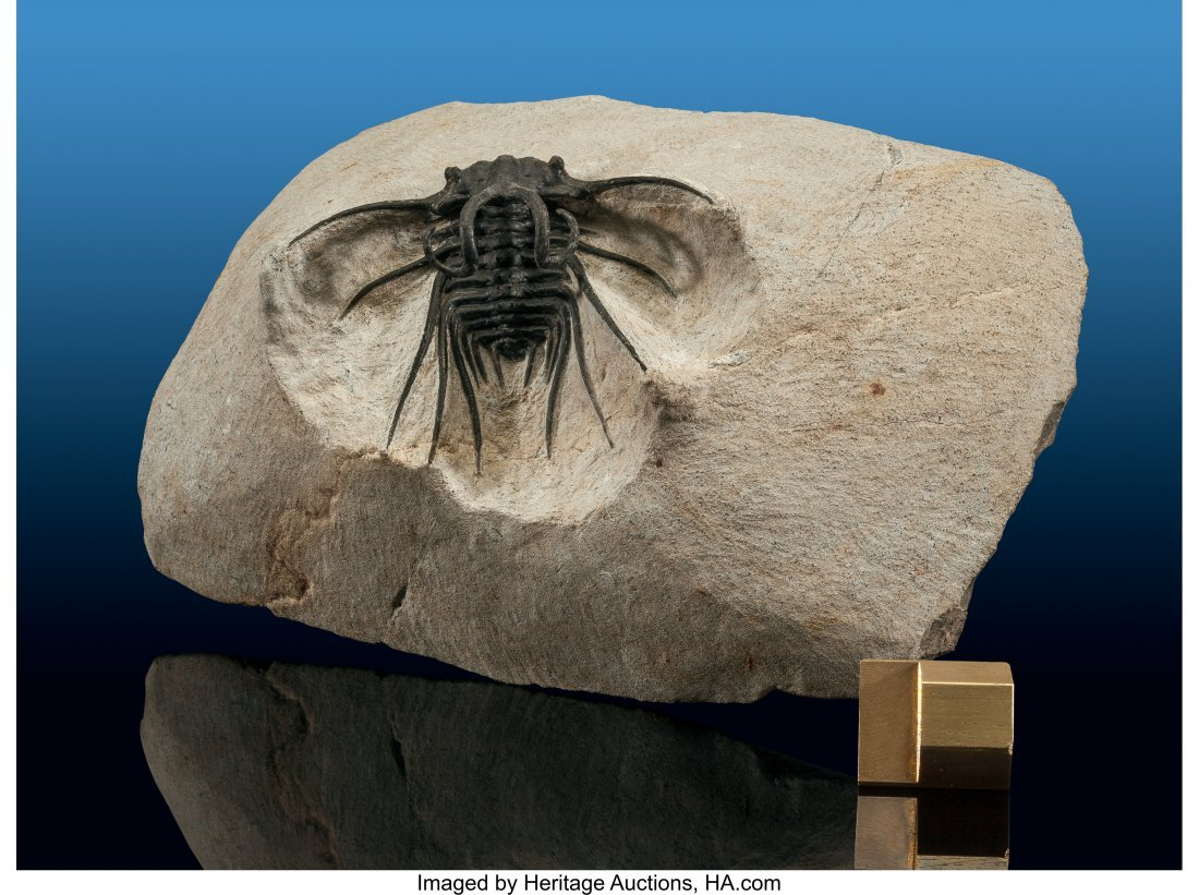 72127: Trilobite Fossil Dicranurus monstrosus Devonian  - 2