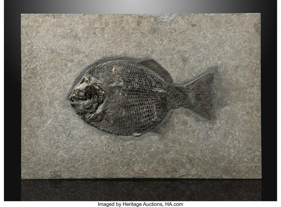 72149: Fossil Fish Dapedium Late Triassic, Early Jurass