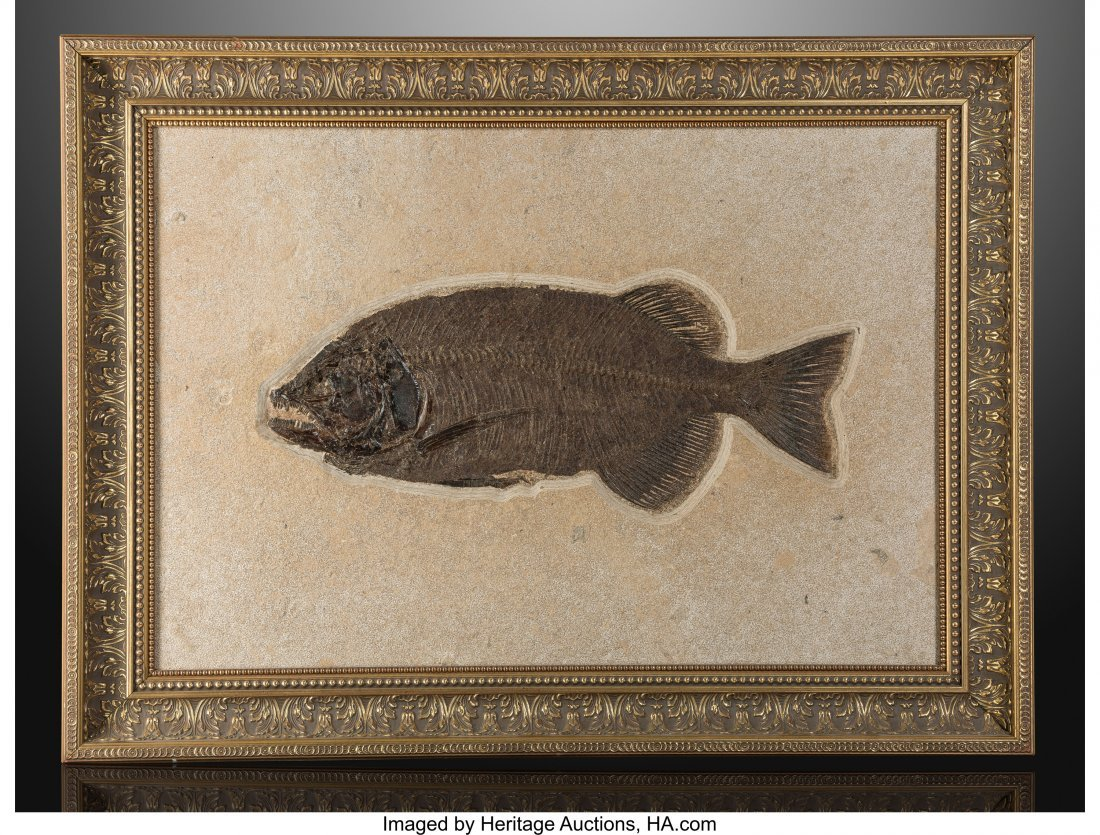 72153: Fossil Fish Phareodus encaustus Eocene Green Riv