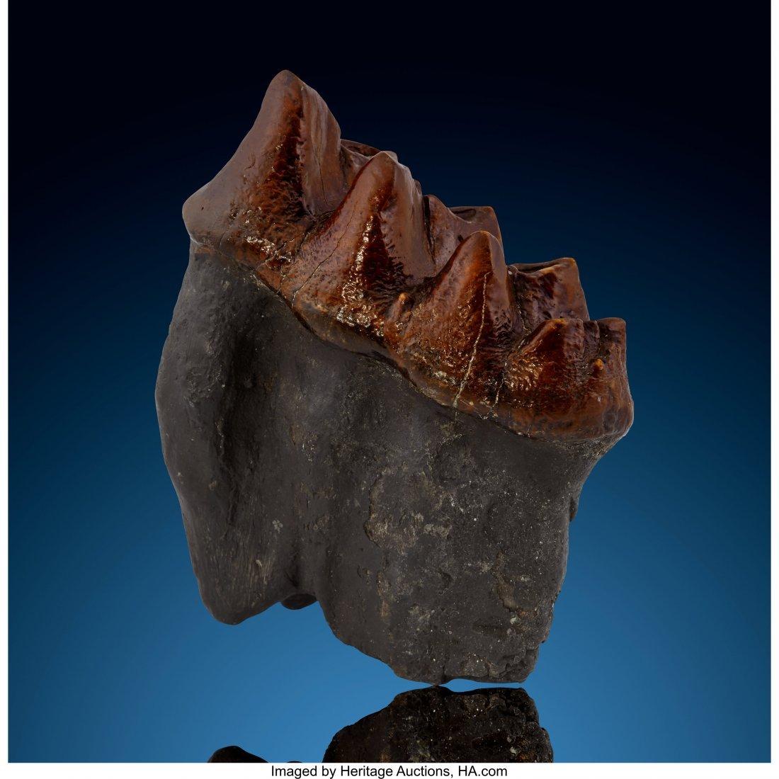 72172: Mastodon Tooth Mammut americanum Pleistocene Flo - 2