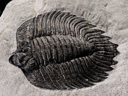 41312: AN EXQUISITE AMERICAN TRILOBITE  Arctinurus bolt