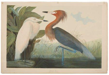 John James Audubon (1785-1851). Reddish Egret - Plate 3