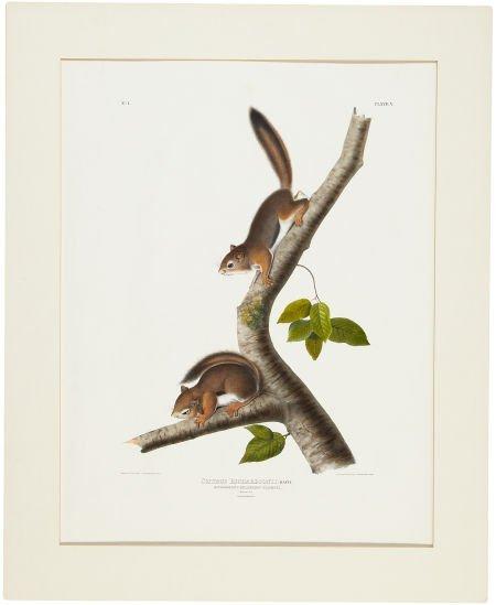 John James Audubon (1785-1851). Sciurus Richardsonii -