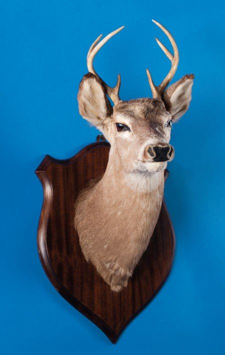 49105: WHITE-TAIL DEER SHOULDER MOUNT