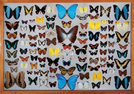 49113: FRAMED BUTTERFLY COLLECTION
