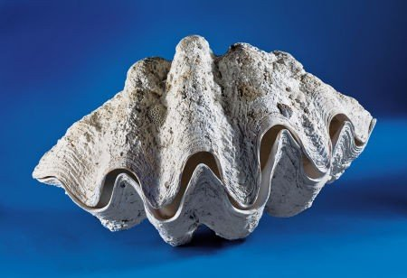 49114: GIANT CLAM SHELL
