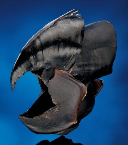 49115: REMARKABLY HUGE HUMBOLDT SQUID BEAK