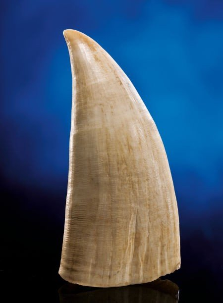 49116: LARGE SPERM WHALE TOOTH