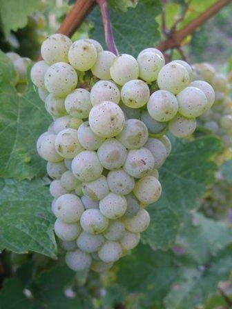 22: Tokay Pinot Gris 1989 SGN, Hugel  sdc, ssos Bottle