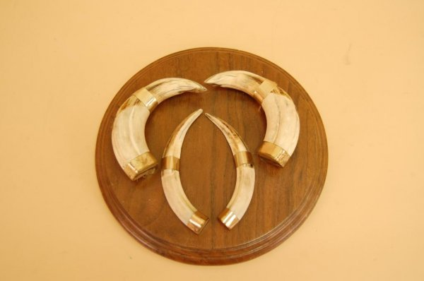 15A: Plaque mounted-4 Boars Tusks