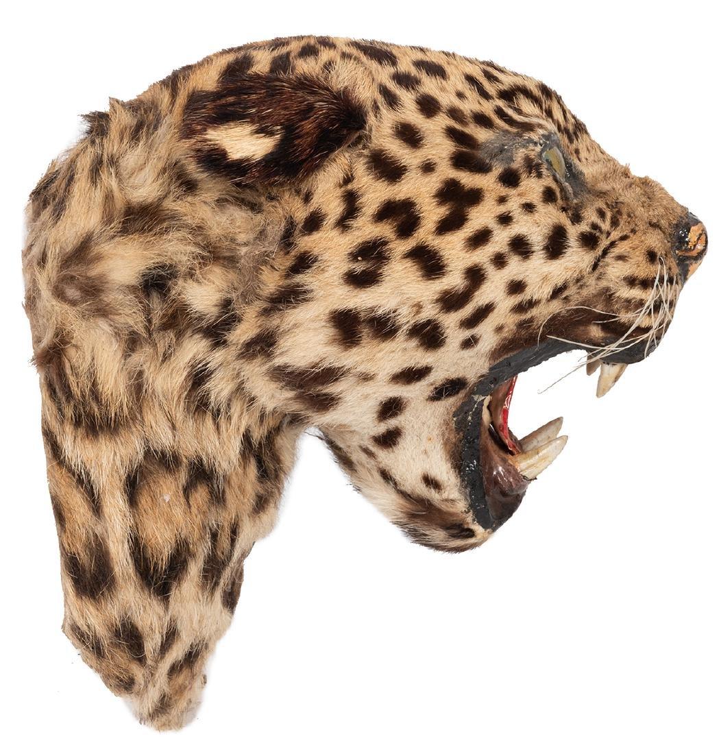 Taxidermy Leopard Head. - 2