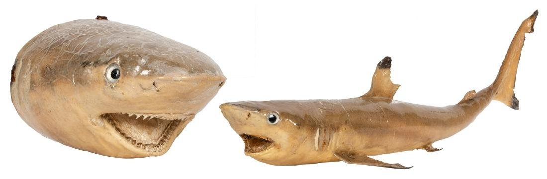 Two Taxidermy Sharks.