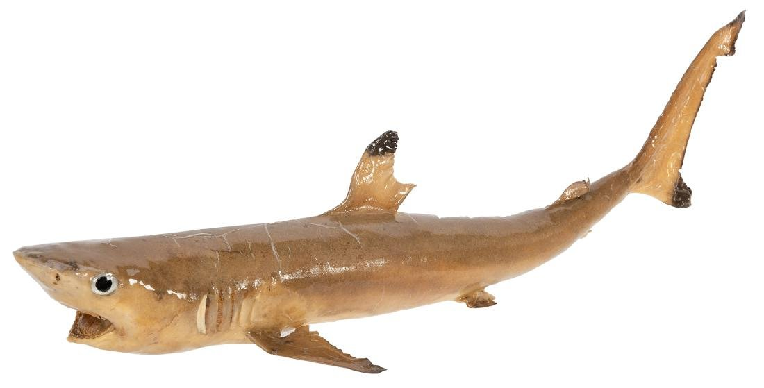 Two Taxidermy Sharks. - 3