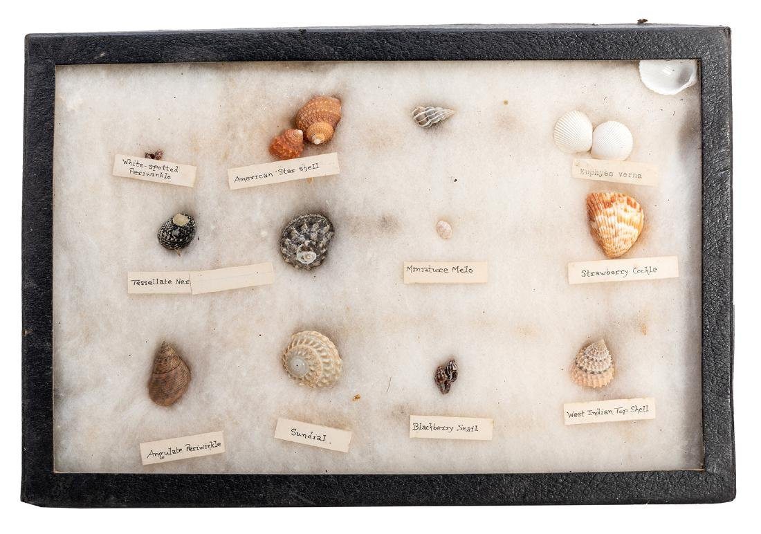 Large Collection of Seashells. - 4