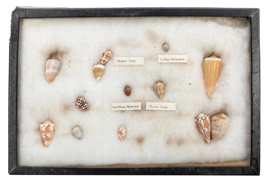 Large Collection of Seashells. - 5