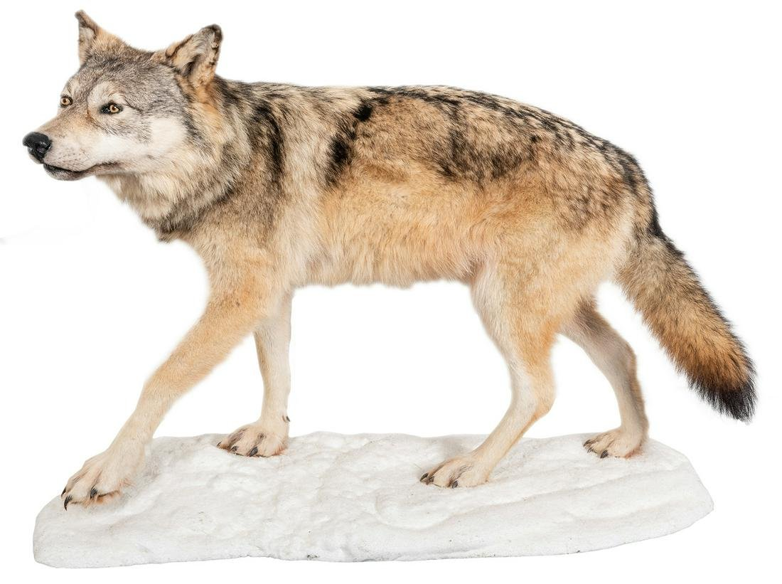 Red Wolf Full Body Taxidermy Mount. On a snow-like