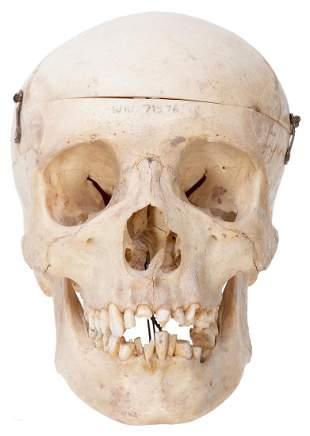 Anatomical Human Skull. Circa 19th/20th century.