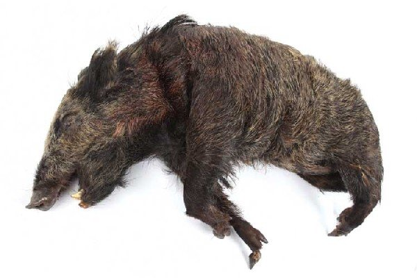 Boar carried by Locke/Man in Black