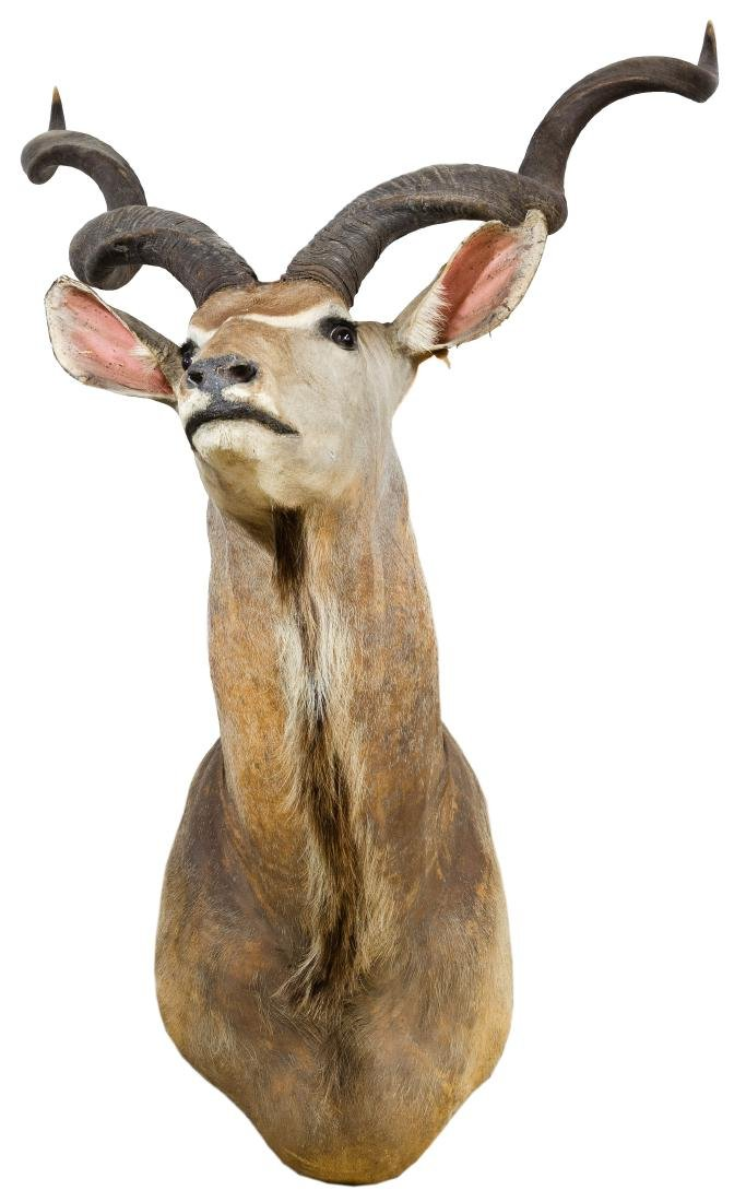 Spiral-Horned Antelope (Kudu) Taxidermy Shoulder Mount