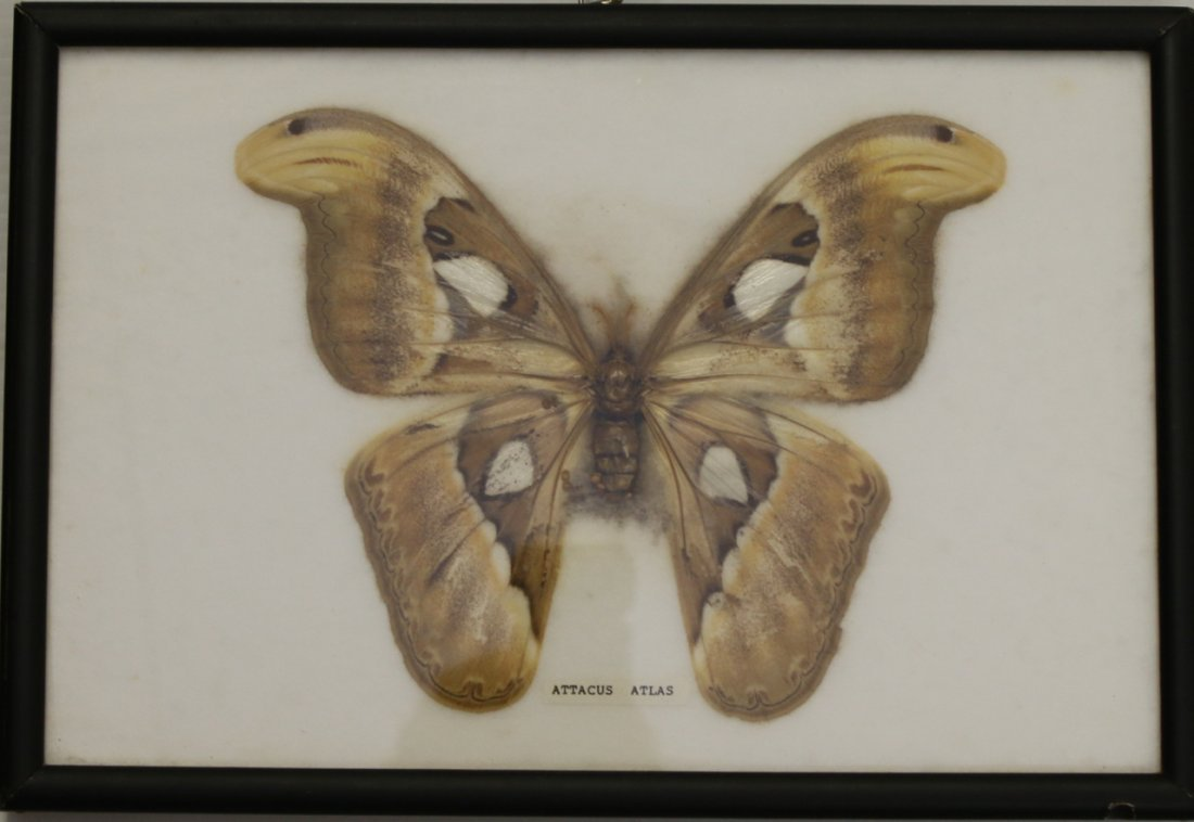 3 - FRAMED BUTTERFLY DISPLAYS - 3