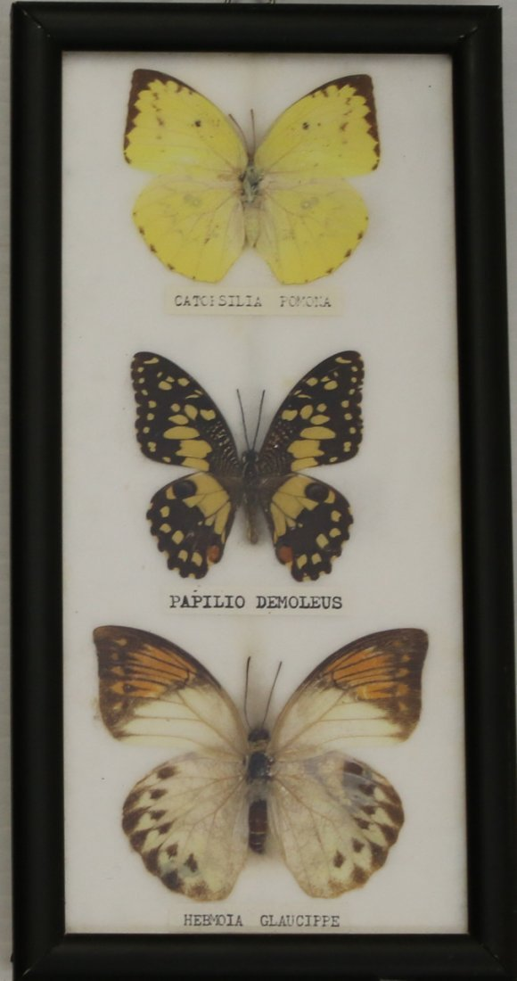 3 - FRAMED BUTTERFLY DISPLAYS - 4