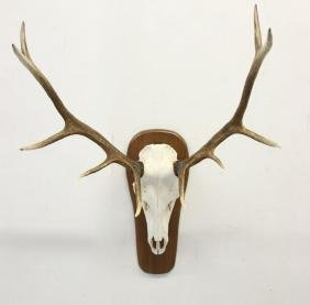 NORTH AMERICAN BULL ELK MOUNT