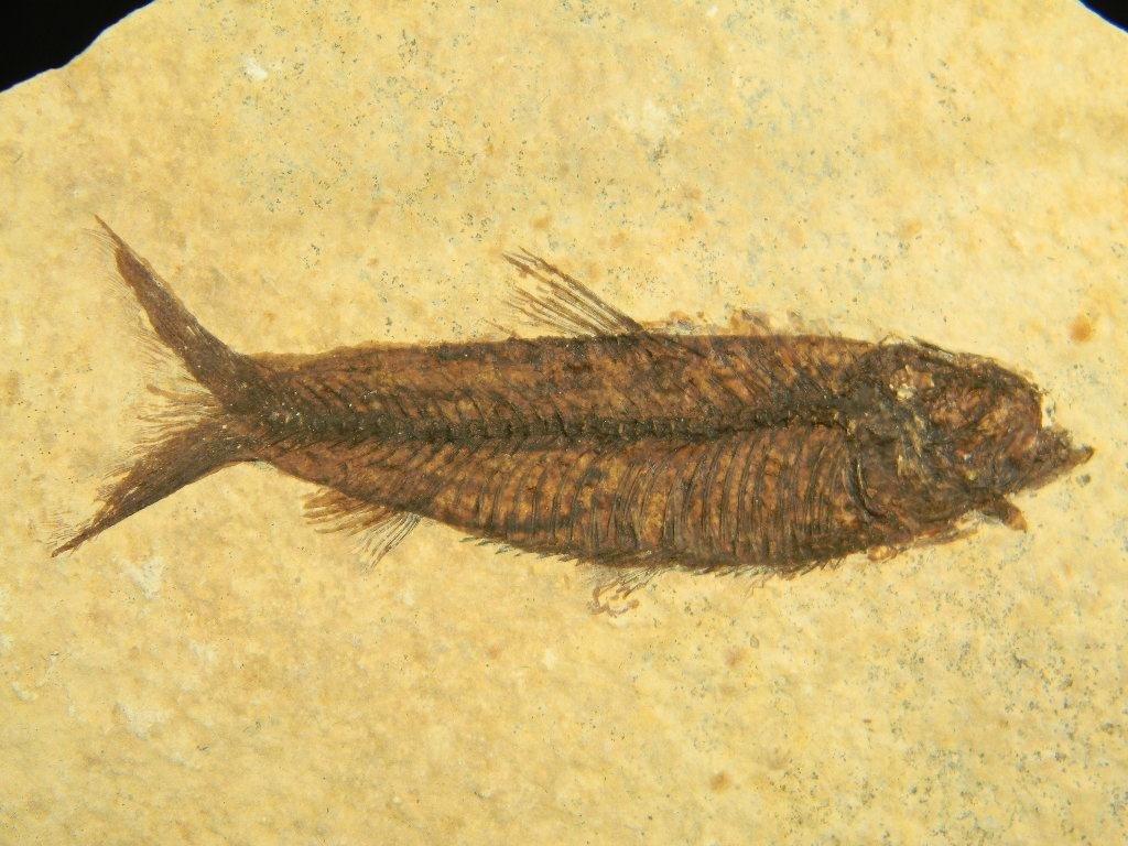 1: Ancient natural History Fossil