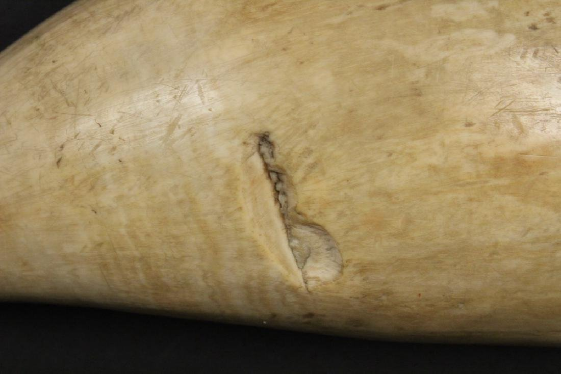 SCRIMSHAWN WHALE'S TOOTH - 5