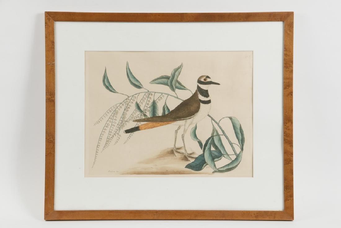 MARK CATESBY BIRD ENGRAVING