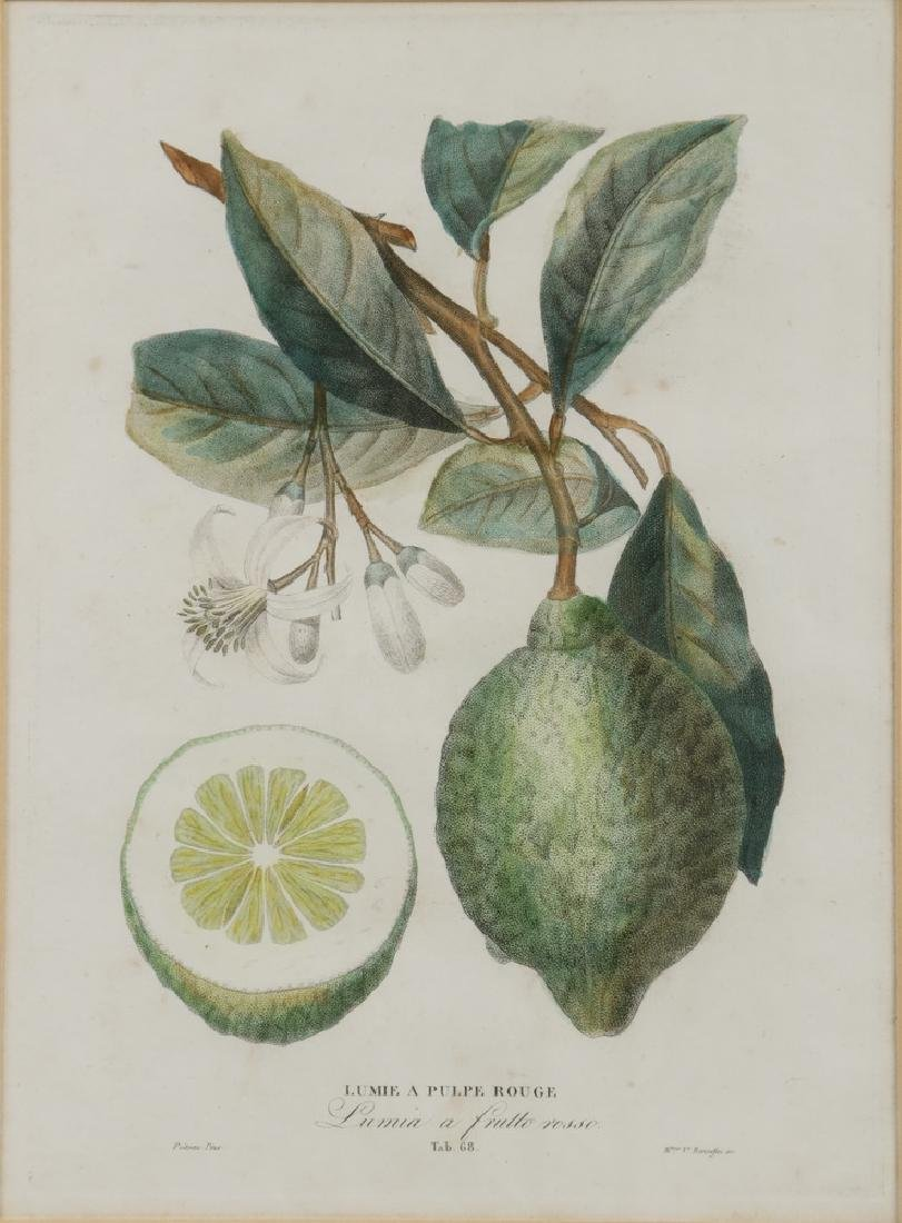 (2) CITRUS ENGRAVINGS BY POITEAU (FRANCE, 1766-1856) & - 2