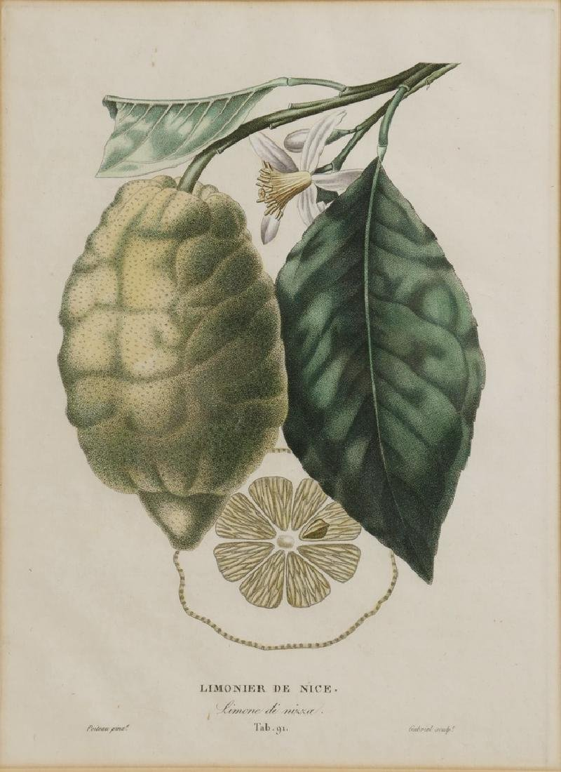 (2) CITRUS ENGRAVINGS BY POITEAU (FRANCE, 1766-1856) & - 3