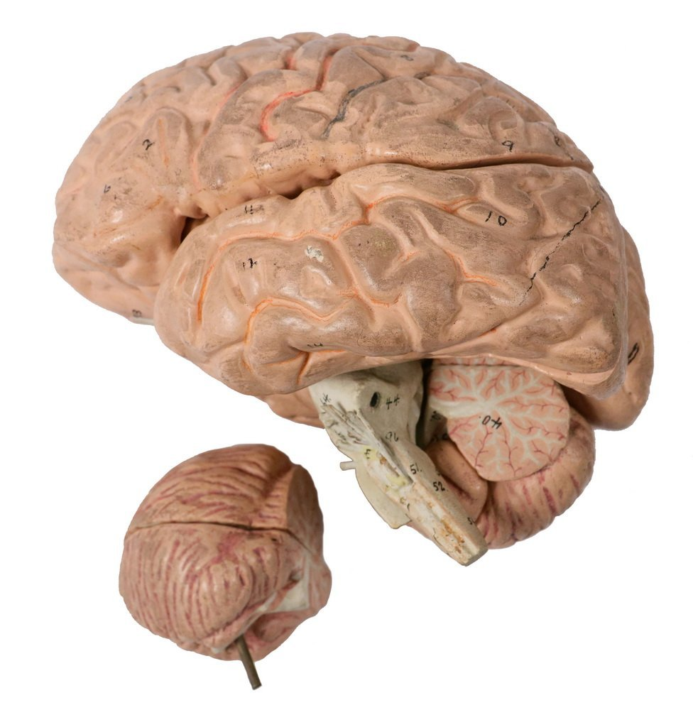 EDUCATIONAL MODEL OF THE BRAIN - Full-Sized Painted