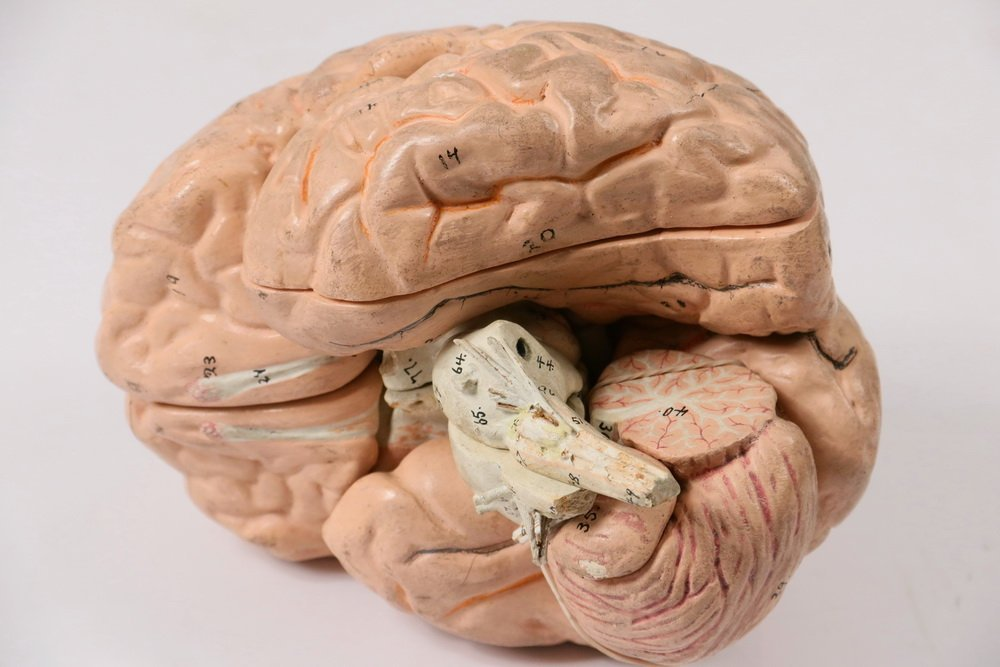 EDUCATIONAL MODEL OF THE BRAIN - Full-Sized Painted - 2