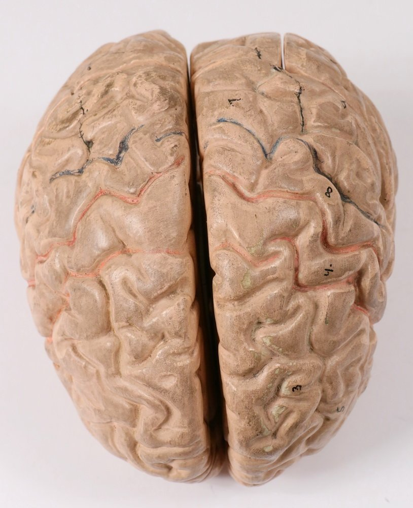EDUCATIONAL MODEL OF THE BRAIN - Full-Sized Painted - 3