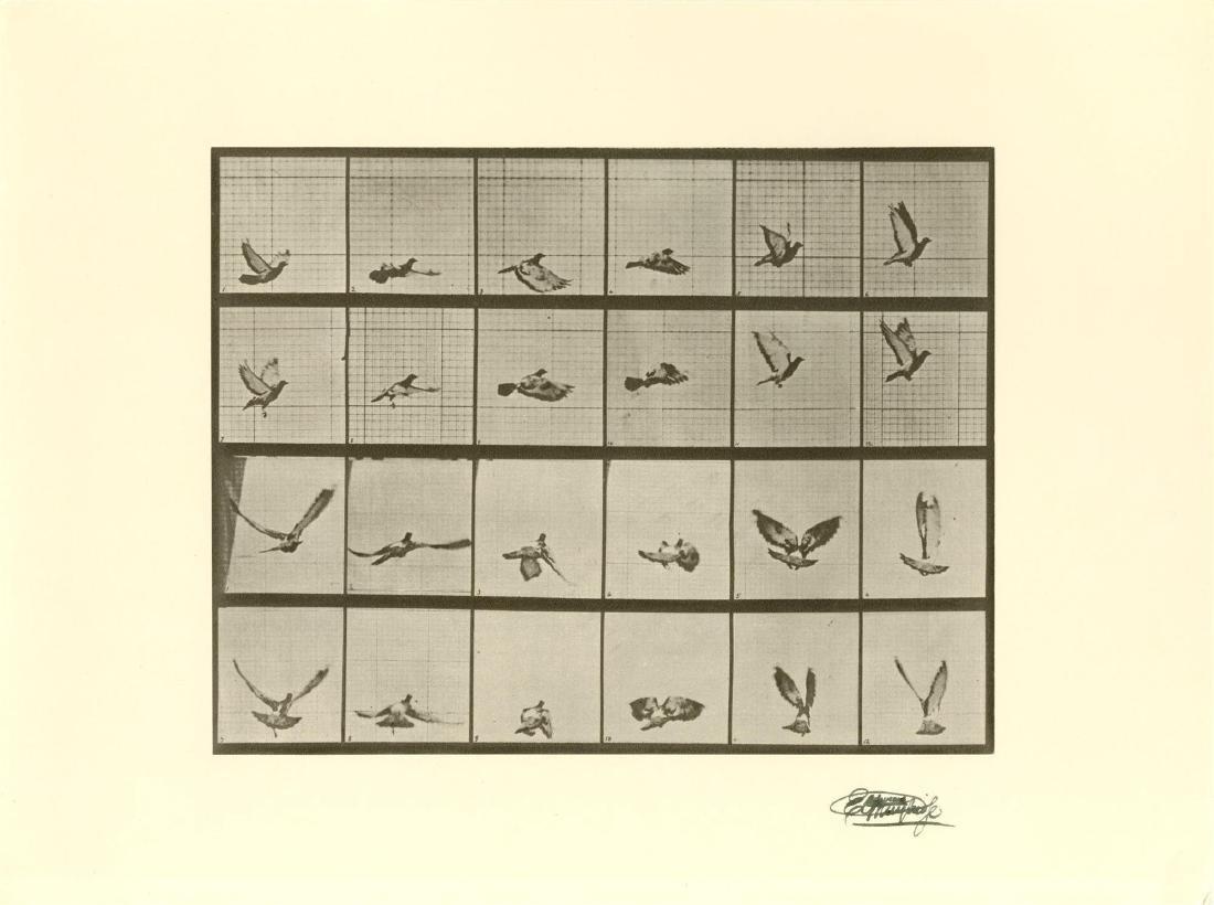 692: EADWEARD MUYBRIDGE [d'apres] - Bird in Flight