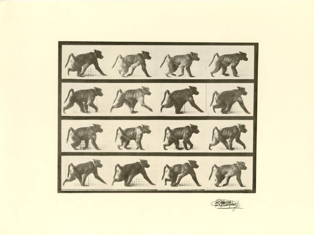 1324: EADWEARD MUYBRIDGE [d'apres] - Baboon Walking