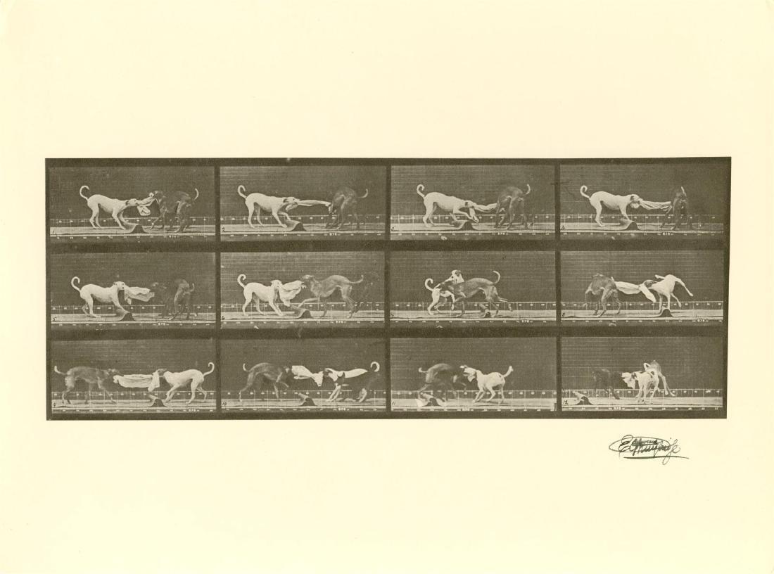 1422: EADWEARD MUYBRIDGE [d'apres] - Dogs Fighting