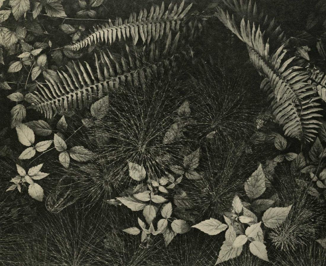 1535: ANSEL ADAMS - Mountain Ferns