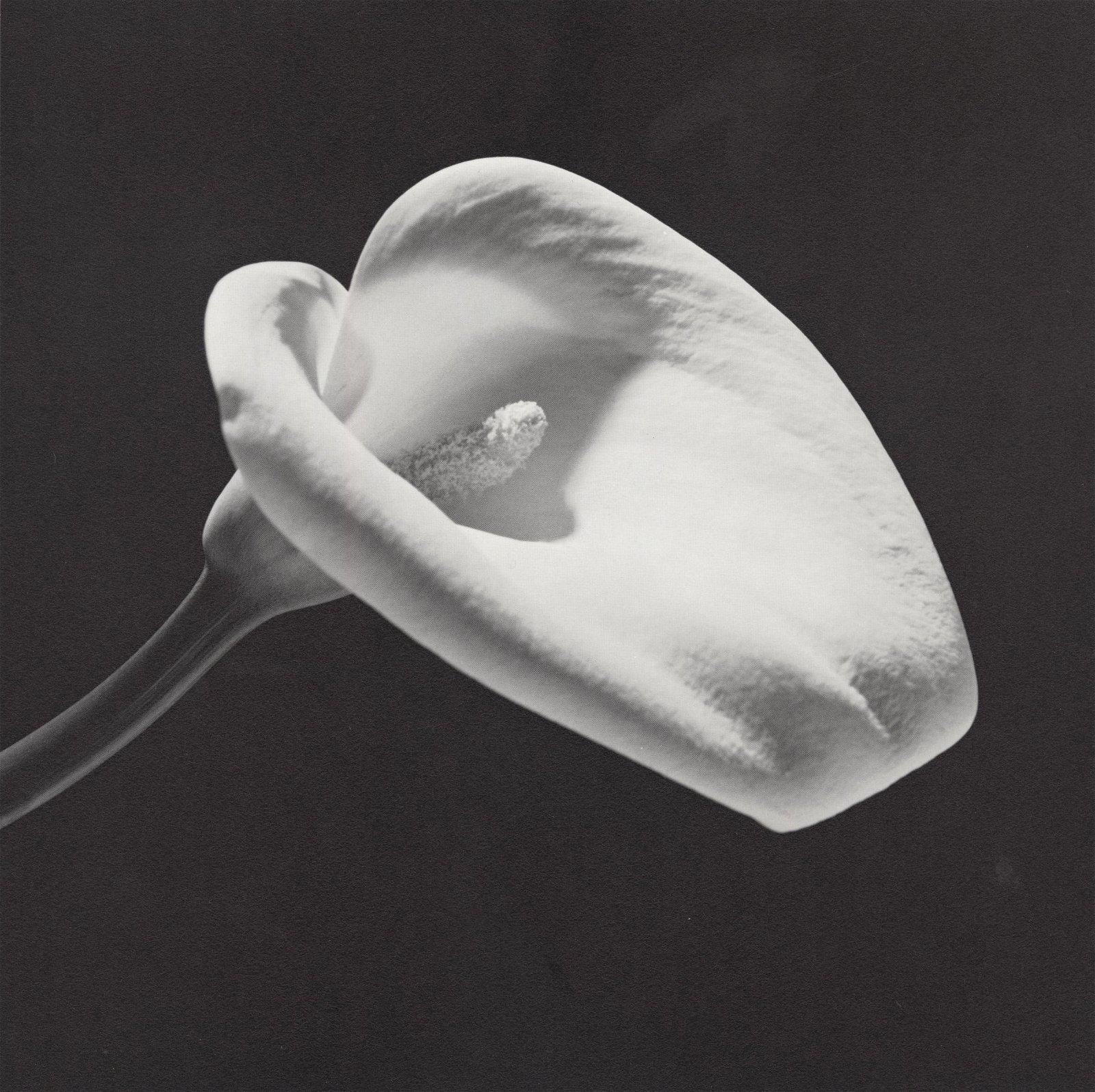 ROBERT MAPPLETHORPE - Calla Lily, 1984 (#2) - Original