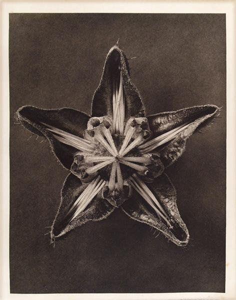 1008: KARL BLOSSFELDT (German) Vintage photogravure