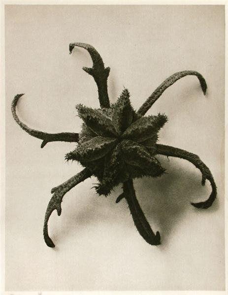 1011: KARL BLOSSFELDT (German) Vintage photogravure