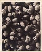 368: KARL BLOSSFELDT (German) Original vintage photogra