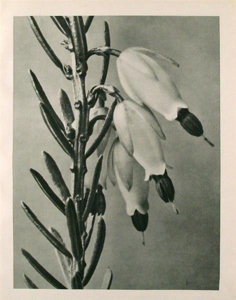 KARL BLOSSFELDT - Original vintage photogravure