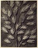 1790: KARL BLOSSFELDT - Original vintage photogravure