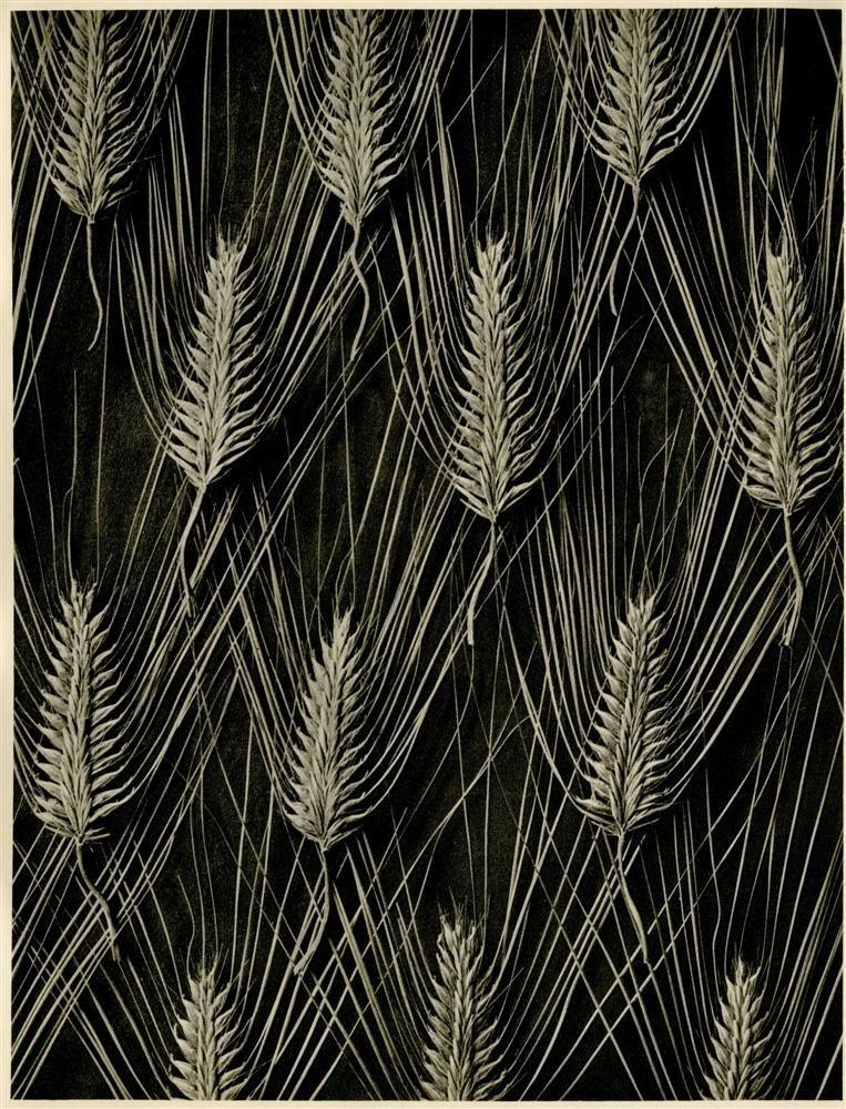 211: KARL BLOSSFELDT - Original vintage photogravure