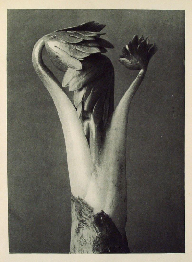 6: KARL BLOSSFELDT - Aconitum (Common Monkshood)